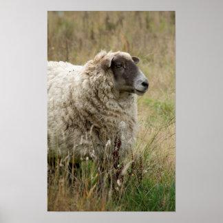 Poster Portrait de moutons