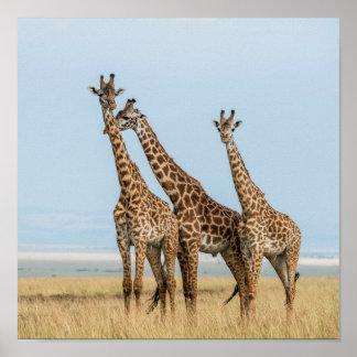 Poster Pose de trois girafes