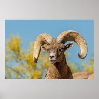 Poster RAM de Bighorn de désert