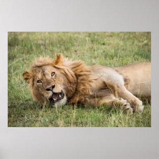 Poster Repos masculin de lion