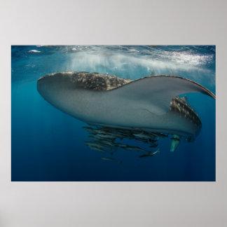 Poster Requin de baleine avec le Remora