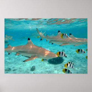 Poster Requins dans l'affiche de lagune de Bora Bora