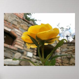 Poster Rose toscane de jaune