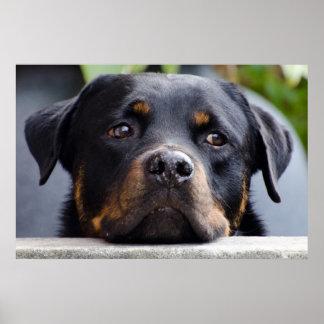 Poster Rottweiler regardant au-dessus de la barrière