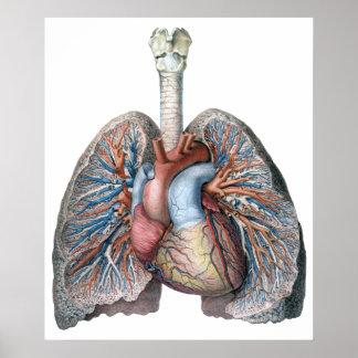 Poster Sang humain vintage d'organes de coeur de poumons