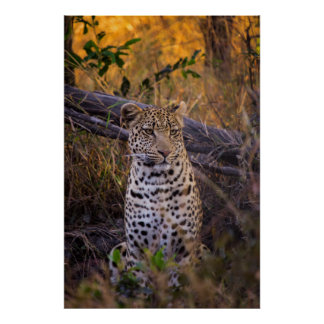 Poster Séance de léopard, Botswana, Afrique