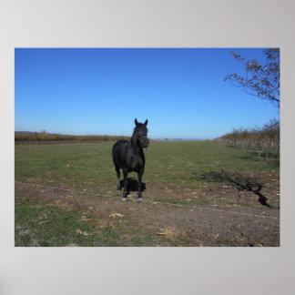 Poster Seul cheval noir dans le pâturage