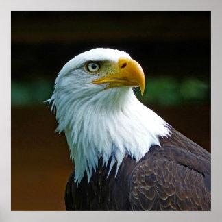 Poster Tête d'Eagle chauve
