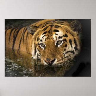 Poster Tigre avec les yeux puissants