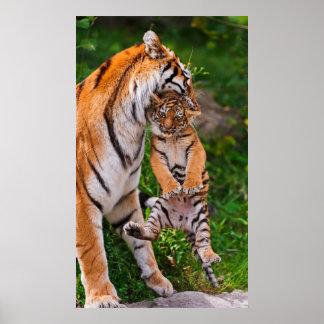 Poster Tigre CUB