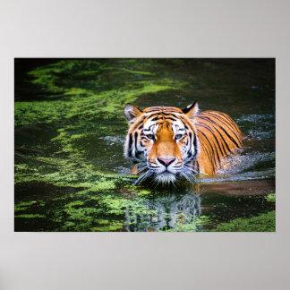 Poster Tigre de Bengale de faune de nature dans la