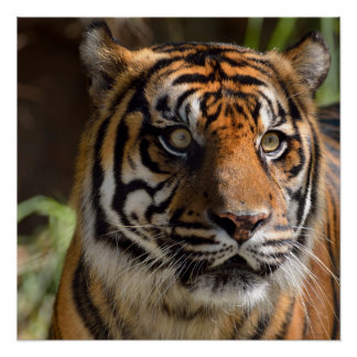 Poster Tigre de Sumatran
