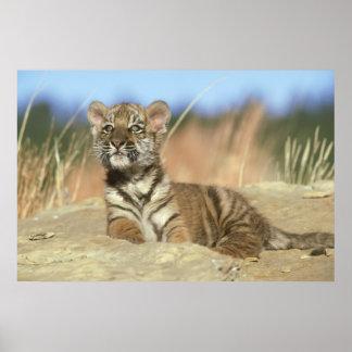 Poster Tigre sibérien