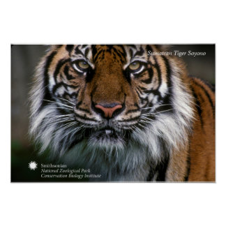 Poster Tigre Soyono de Smithsonien | Sumatran