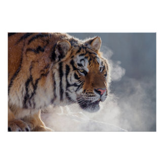 Poster Tigre un matin froid