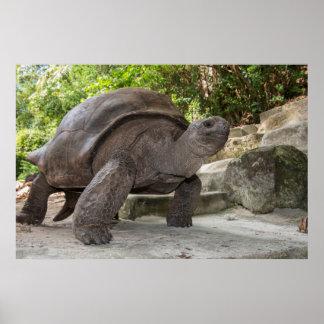 Poster Tortue géante d'Aldabra