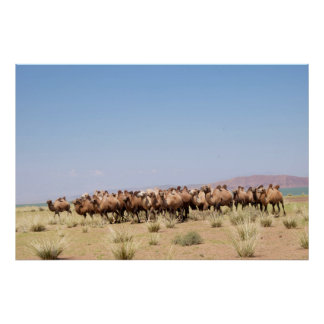 Poster Troupeau de chameaux Bactrian