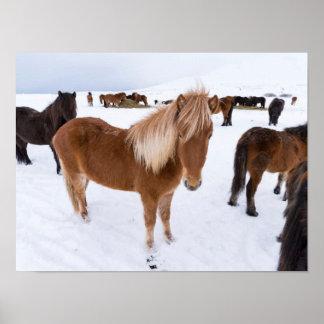 Poster Troupeau de chevaux islandais en hiver