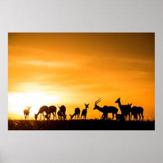 Poster Troupeau d'impala au coucher du soleil