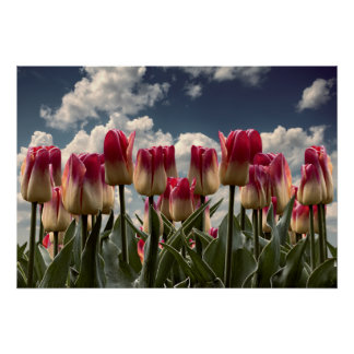 POSTER TULIPES