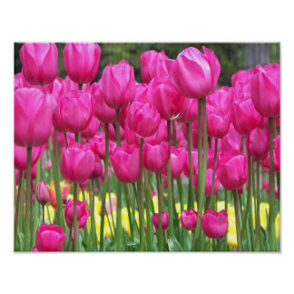 Poster Tulipes roses florales
