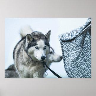 Poster Un beau chien de chien de traîneau sibérien avec