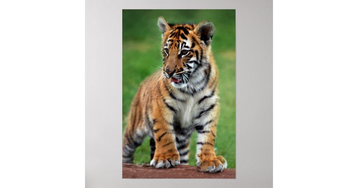 poster un petit animal de tigre mignon de b b. Black Bedroom Furniture Sets. Home Design Ideas