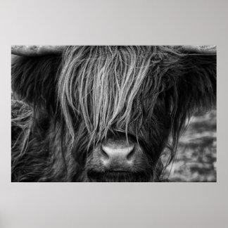 Poster Vache des montagnes écossaise, montagnard, bétail