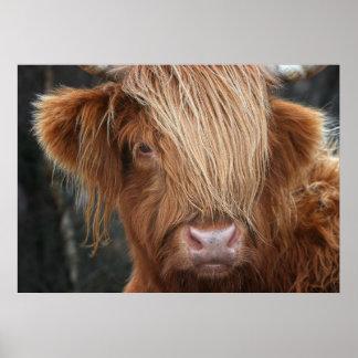 Poster Vache des montagnes écossaise, montagnard, Ecosse
