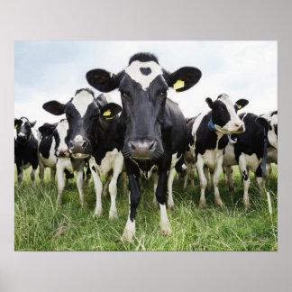 Poster Vaches dans une rangée