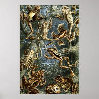 Poster Variété d'Ernst Haeckel de grenouilles exotiques :