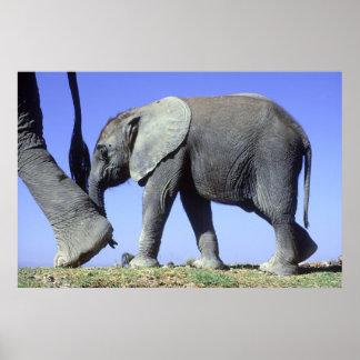 Poster Veau d'éléphant africain