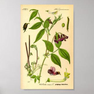 Poster Vesce de ressort (vernus de Lathyrus)