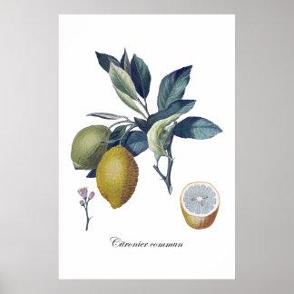 Poster vintage botanique d'étude de CITRON