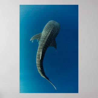 Poster Vue supérieure d'un requin de baleine