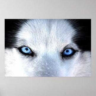 Poster Yeux bleus de chien de traîneau sibérien