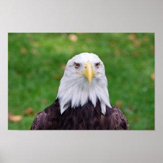 Poster Yeux d'Eagle chauve