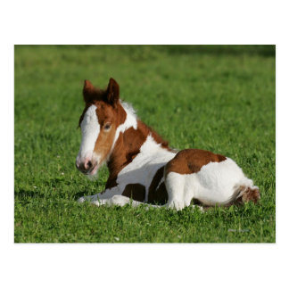 Poulain s'étendant dans l'herbe cartes postales