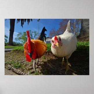 poule et coq poster