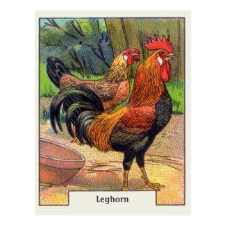 Poulet vintage de leghorn cartes postales