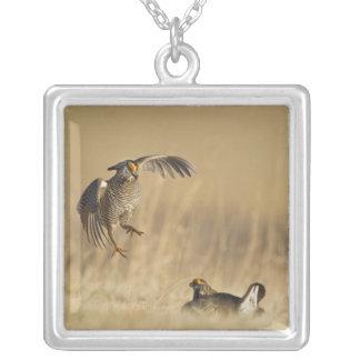 Poulets de prairie masculins aux leks dans le pendentif carré