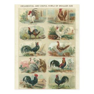 Poulets vintages -- Carte postale ornementale de v