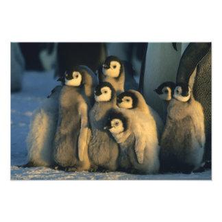 Poussins de pingouin d'empereur dans la garderie,  photo sur toile