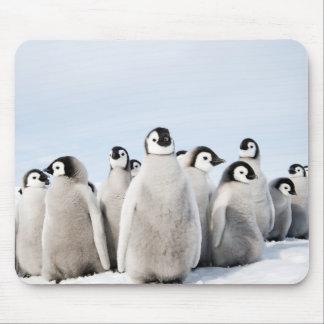 Poussins de pingouin d'empereur - tapis de souris