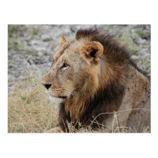 Profil d'un lion cartes postales