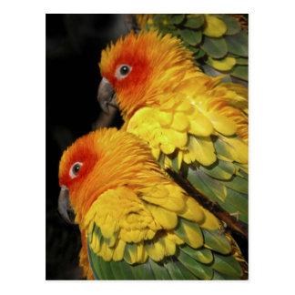 Promenade du côté sauvage - paire de perroquets cartes postales