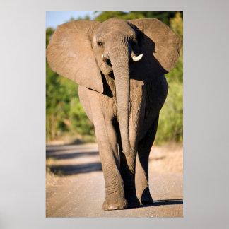 Promenades d'un éléphant africain (Loxodonta Poster