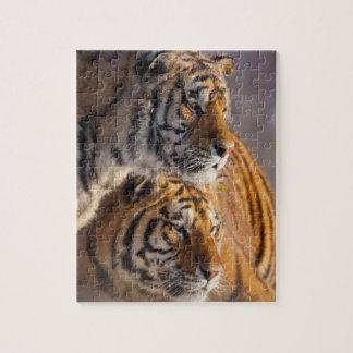 Puzzle Deux tigres sibériens ensemble, la Chine