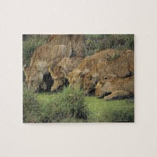 Puzzle Herbe sentante africaine de lions (Panthera Lion),