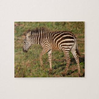 Puzzle Zèbre de bébé marchant, Afrique du Sud
